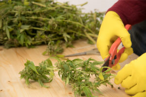 grower cuts cannabis plants with shears after insuring business with insurance