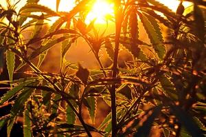 Cannabis Crop During Sunrise