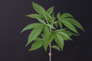 cannabis leaf that has Cannabis Cargo Insurance