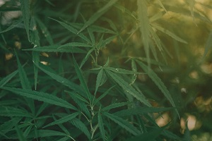 growing marijuana for medical use